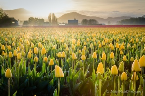Tulip Morning (Yellow)