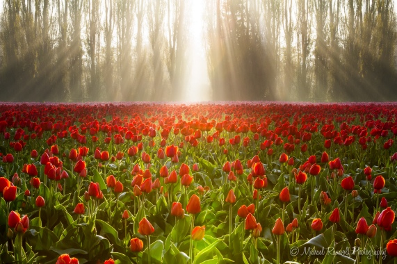 Tulips in The Golden Hour